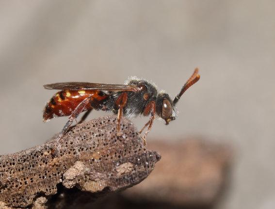 Nomada mutabilis  - Wespenbiene - Männchen male - Apiformes - Apidae - Bienen - Bees