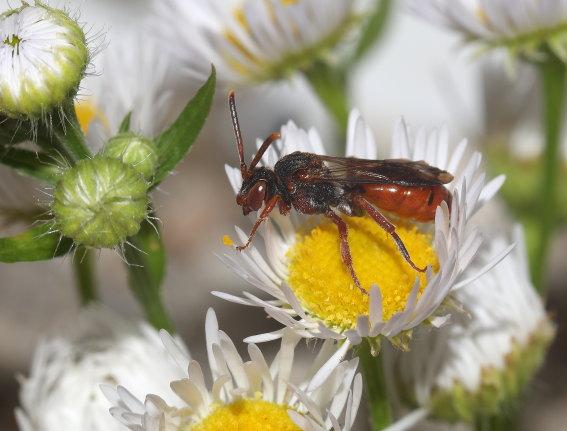 Nomada mutabilis  - Wespenbiene - Weibchen female - Apiformes - Apidae - Bienen - Bees