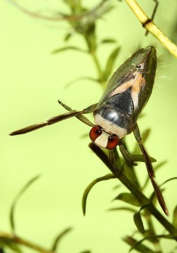 Notonecta-sp. - Rückenschwimmer - Fam. Notonectidae - Rückenschwimmer - Heteroptera - Wanzen - true bugs