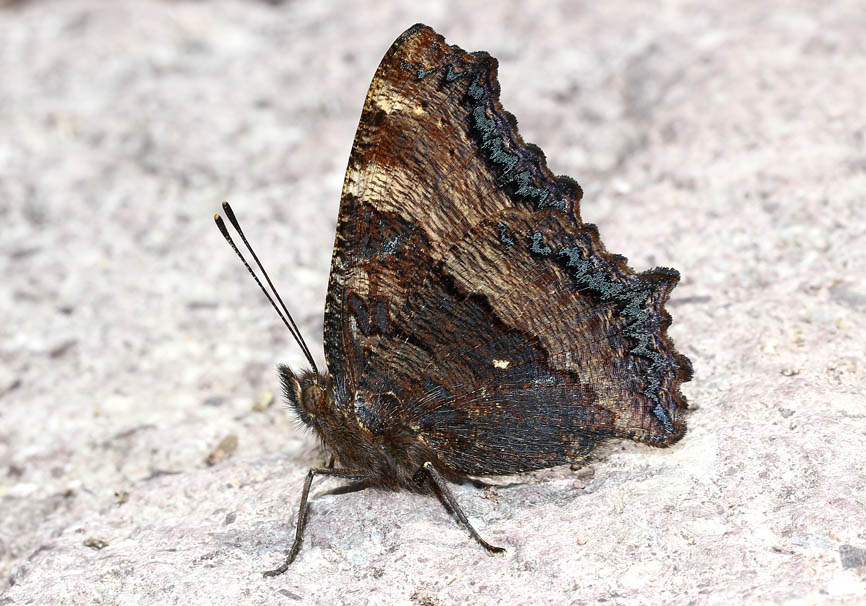Nymphalis polychloros - Große Fuchs - Lesbos - Nymphalidae - Edelfalter - brush-footed butterflies