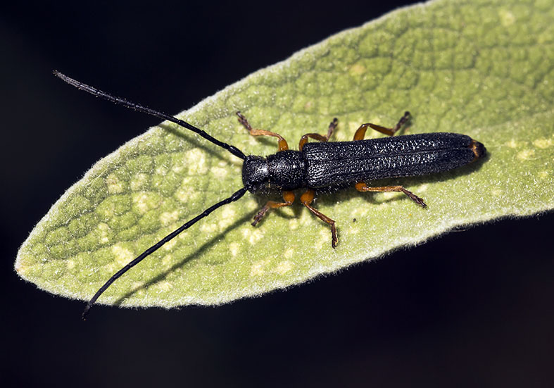 Oberea taygetana - UFam.  Lamiinae  -  Pilion (Griechenland) - Cerambycidae - Bockkäfer - long-horned beetles