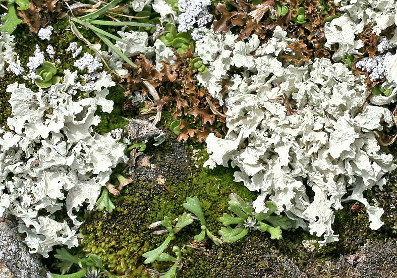 Cetraria nivalis - Schneeflechte - Fam. Parmeliaceae  - Subnivale Zone / Schneetälchen