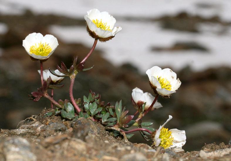 Ranunculus glacialis - Gletscherhahnenfuß - Fam. Ranunculaceae - Subnivale Zone / Schneetälchen