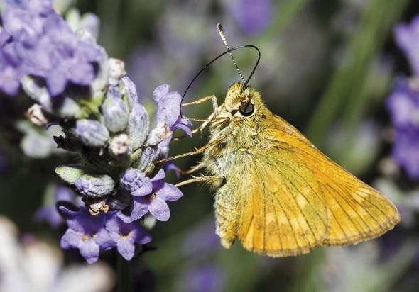 Ochlodes sylvanus - Rostfarbige Dickkopffalter -  - Hesperidae - Dickkopffalter - skipper