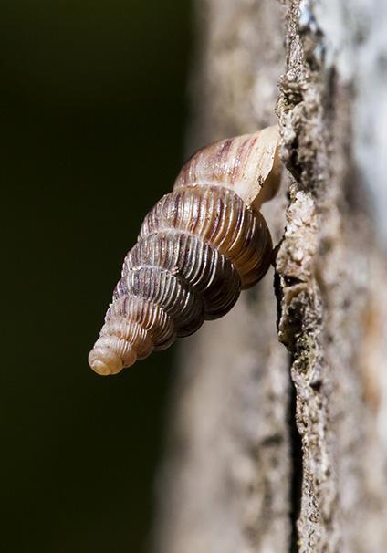 Ochlostoma septemspirale - Kleine-Walddeckelschnecke - Fam. Cochlostomatidae - Walddeckelschnecken - Verschiedene Mollusken