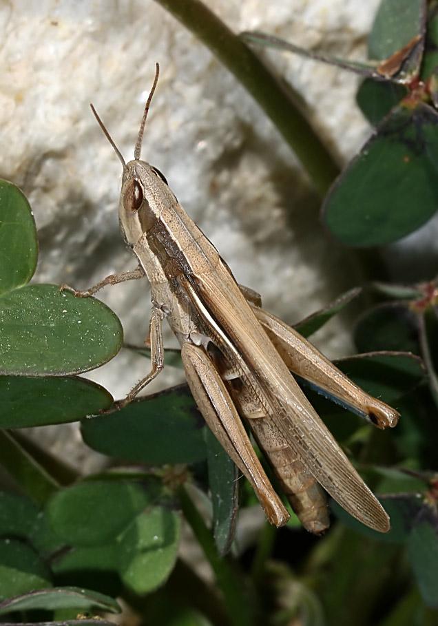 Ochrilidia tibialis - Fam. Acrididae/Gomphocerinae  -  Paros - Caelifera - Kurzfühlerschrecken - grasshoppers