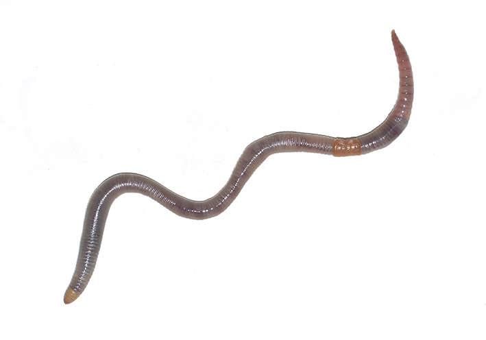 Octolasion lacteum - Großer Ackerwurm -  - Clitellata - Gürtelwürmer - clitellates