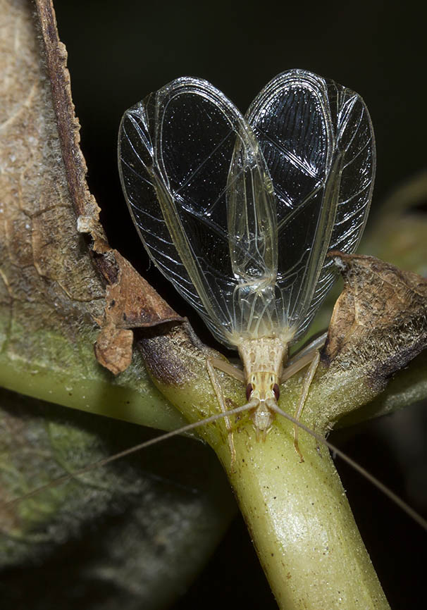 Oecanthus pellucens   - Weinhähnchen - Fam. Gryllidae  - Naxos - Ensifera - weitere Familien - other families
