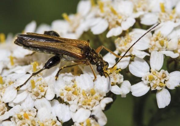 Oedemera podagrariae - Echter Schenkelkäfer - Fam. Oedemeridae - Scheinbockkäfer - weitere Käferfamilien - other beetle families