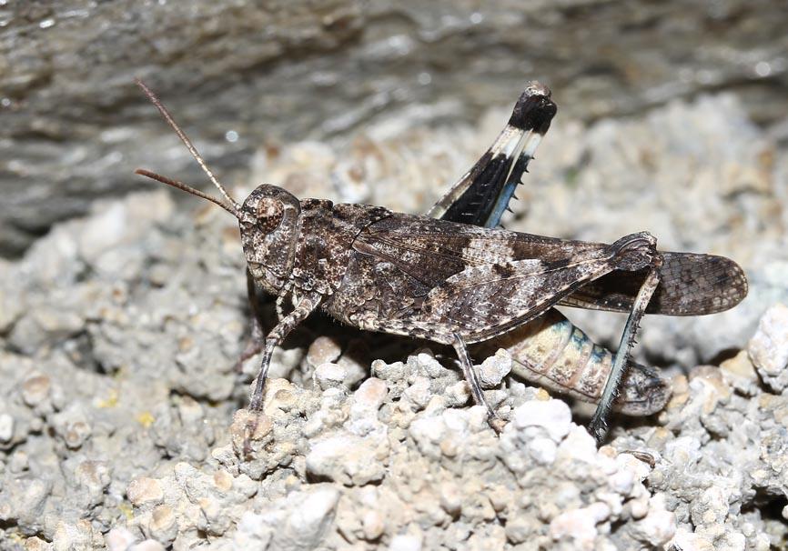 Oedipoda caerulescens - Blauflügelige Ödlandschrecke - UFam. Oedipodinae - Acrididae - Feldheuschrecken - grasshoppers