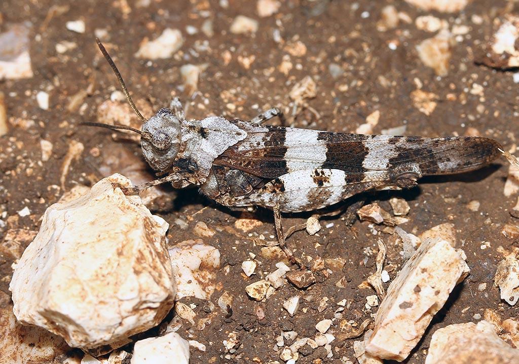 Oedipoda caerulescens - Blauflüglige Ödlandschrecke - Fam.  Acrididae/Oedipodinae  -   - Caelifera - Kurzfühlerschrecken - grasshoppers