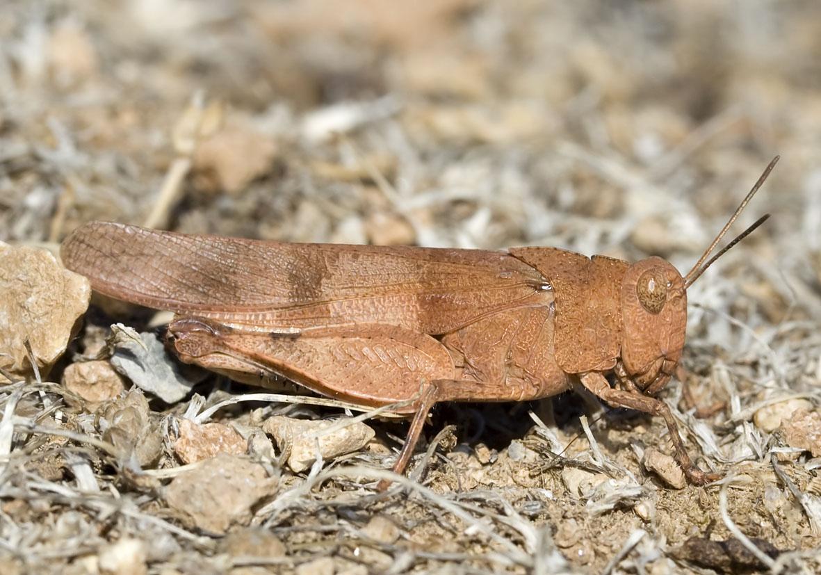 Oedipoda caerulescens - Blauflüglige Ödlandschrecke - Fam.  Acrididae/Oedipodinae  -  Kos -blaue Hinterflügel - Caelifera - Kurzfühlerschrecken - grasshoppers