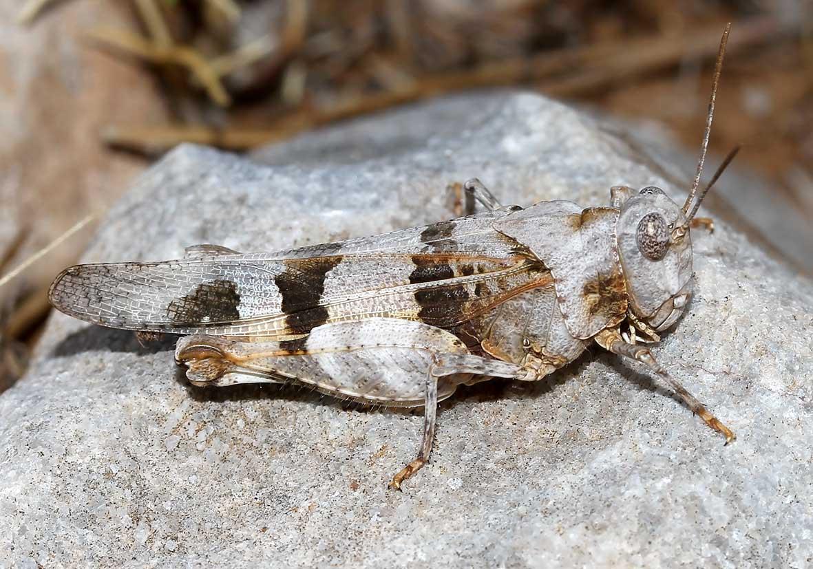 Oedipoda miniata - Ödlandschrecke - Fam.  Acrididae/Oedipodinae  -  Kos - rote Hinterflügel - Caelifera - Kurzfühlerschrecken - grasshoppers