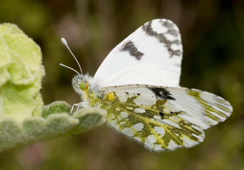 Euchloe ausonia- - Östlicher Gesprenkelter Weißling - Amorgos - Pieridae - Weißlinge - whites
