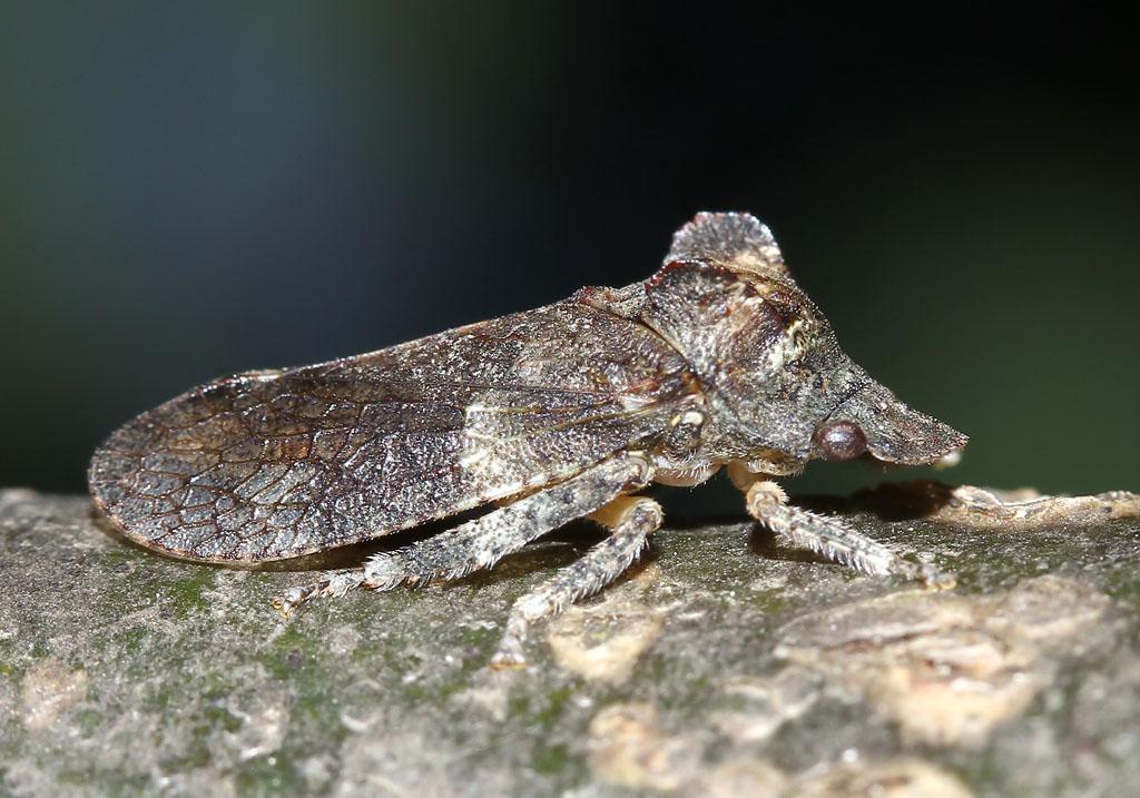 Ledra aurita - Ohrzikade -  - Cicadoidea - Zikaden - cicadas