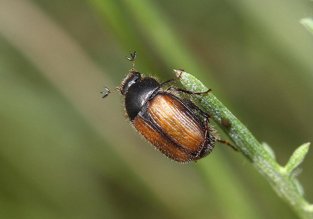 Omaloplia ruricola - Fam. Melolonthidae - Scarabaeoidea - Blatthornkäfer - scarab beetles