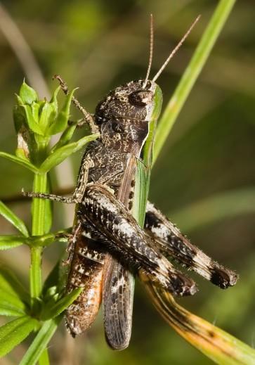 Omocestus rufipes - Buntbäuchiger Grashüpfer - UFam. Gomphocerinae - Acrididae - Feldheuschrecken - grasshoppers