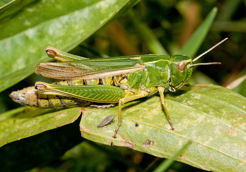Omocestus viridulus -  Bunter Grashüpfer - UFam. Gomphocerinae - Acrididae - Feldheuschrecken - grasshoppers