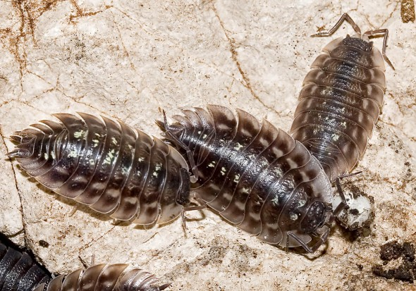 Oniscus asellus - Mauerassel -  - Isopoda - Asseln - woodlice