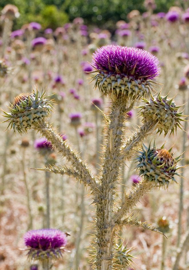 Onopordum cf illyricum - Illyrische Eselsdistel - Illyrien scotsch thistle -  - Ruderal vegetation