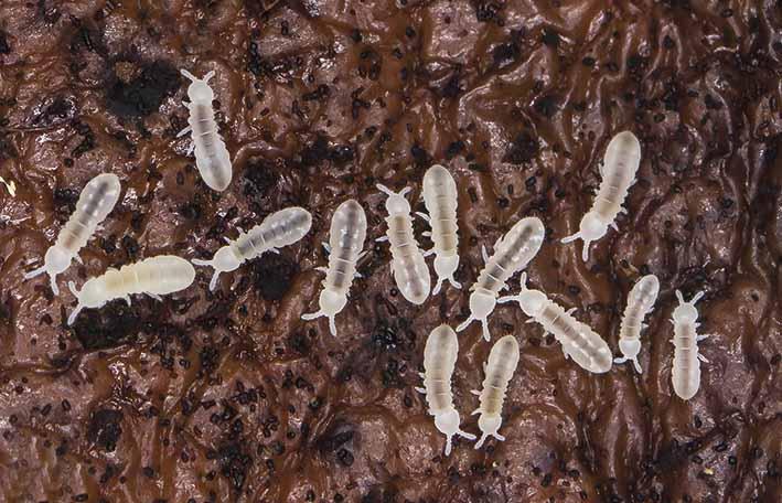 Onychiuridae  - Blindspringer -  - Collembola - Springschwänze - collemboles