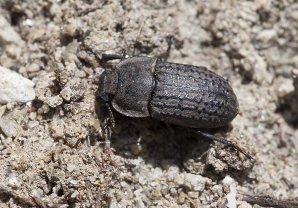 Opatrum sabulosum - Staubkäfer - Fam. Tenebrionidae (Schwarzkäfer) - weitere Käferfamilien - other beetle families