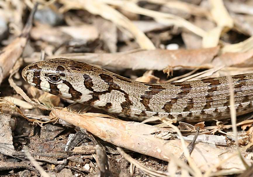 Ophiosaurus apodus - Scheltopusik  - juvenil  (Korfu) - Lacertilia - Echsen - lizards