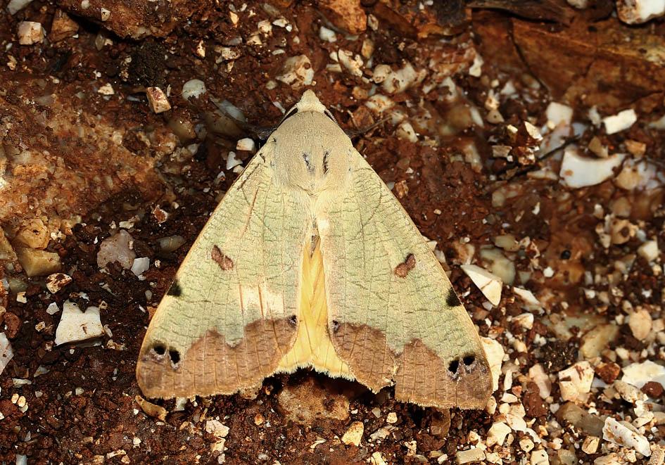 Ophiusa tirhaca - Pistazieneule - Fam. Erebidae/Eribinae   -  Korfu - Nachtfalter - moths