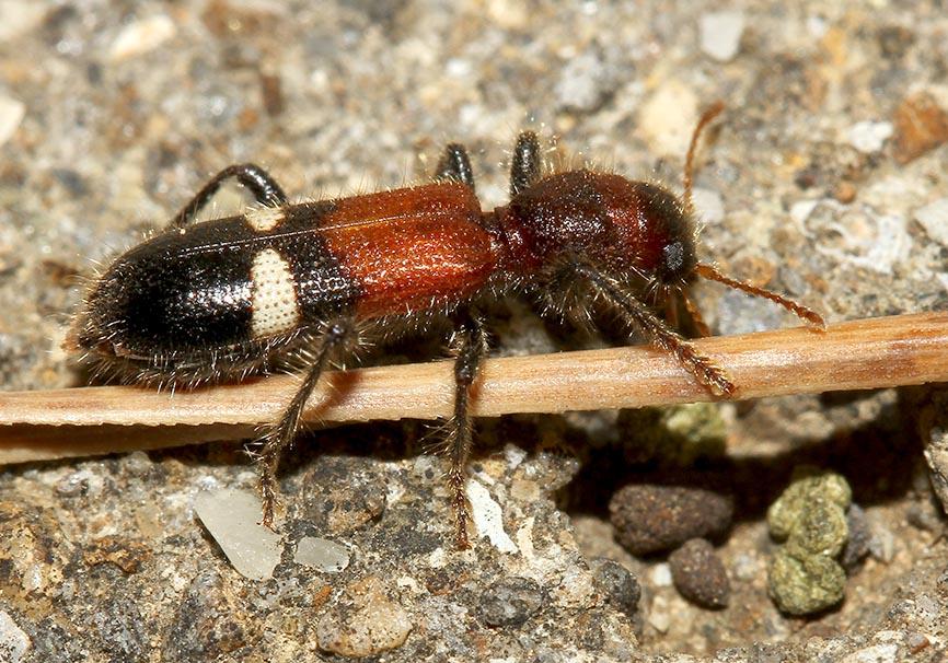 Opilo taeniatus - Fam. Cleridae - Buntkäfer   Samos - Weitere Käferfamilien - other beetle families