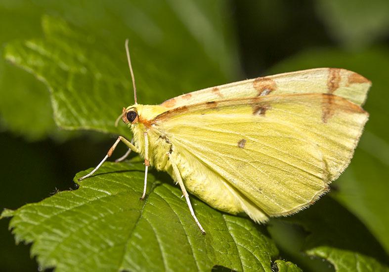 Opisthograptis luteolata - Gelbspanner -  - Geometridae - Spanner - geometer moths