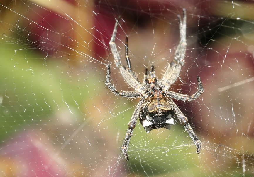 Cyrtophora citricola - Opuntienspinne  - Fam. Araneidae  -  Gran Canaria - Araneae - Webspinnen - orb-weaver spiders