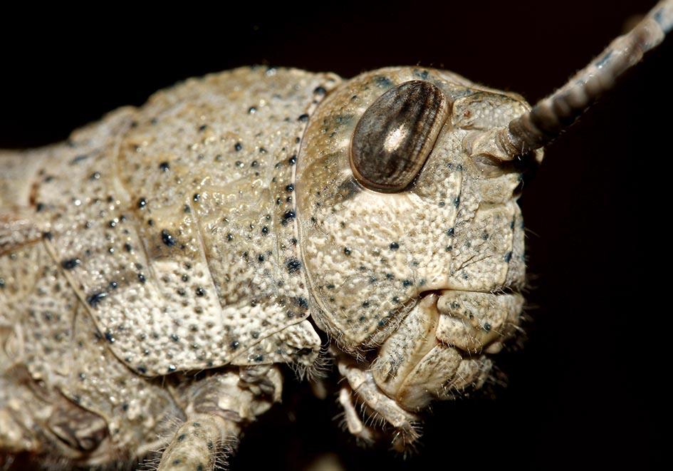 Orchamus yersini - Fam. Pamphagidae  -  Samos - Caelifera - Kurzfühlerschrecken - grasshoppers