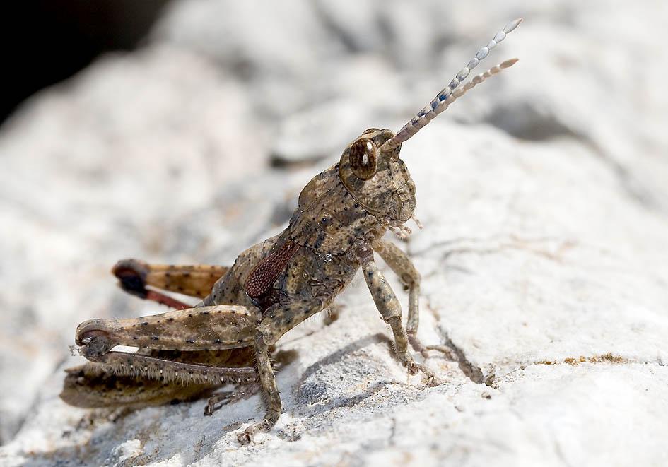 Orchamus yersini -  (Steinschrecken) - Fam. Pamphagidae  -  Samos - Caelifera - Kurzfühlerschrecken - grasshoppers