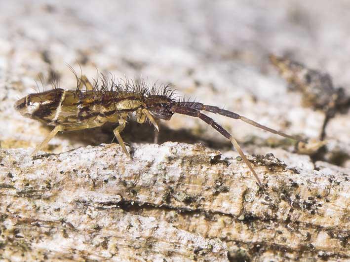 Orchesella flavescens - Fam.  Entomobryidae - Collembola - Springschwänze - collemboles