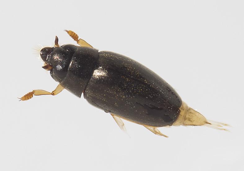 Orectochilus villosus - Bachtaumelkäfer - Fam. Gyrinidae - weitere Käferfamilien - other beetle families