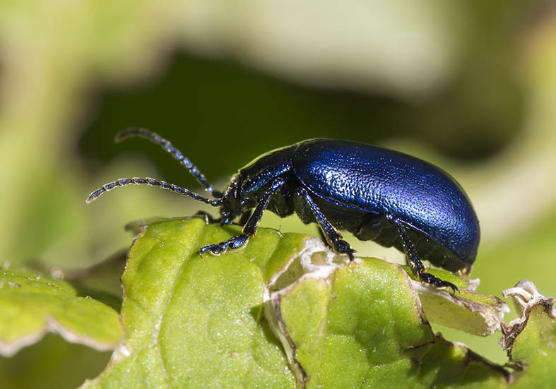 Oreina  cacaliae - Bergblattkäfer -  - Chrysomelidae - Blattkäfer - leaf beetles