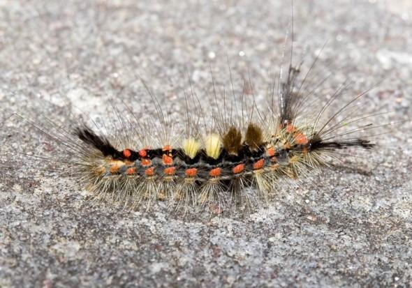 Orgyia antiqua - Schlehenspinner -  - Lymantriinae - Trägspinner