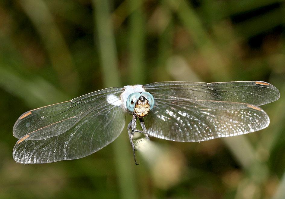 Orthetrum caerulescens - Kleiner Blaupfeil - Fam. Libellulidae  -  Ikaria - Anisoptera - Großlibellen - dragonflies