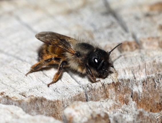 Osmia bicornis - Rostrote Mauerbiene - Weibchen - female - Apiformes - Megachilidae - Bienen - bees