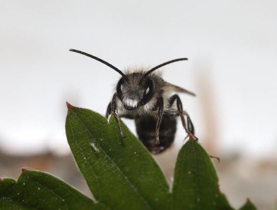 Osmia bicornis - Rostrote Mauerbiene - Männchen - male - Apiformes - Megachilidae - Bienen - bees