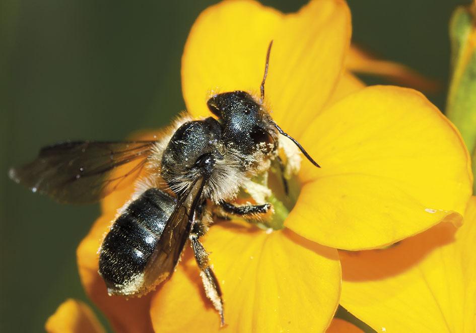 Osmia brevicornis- Mauerbiene -  - Apidae - Megachilinae - Bienen - bees