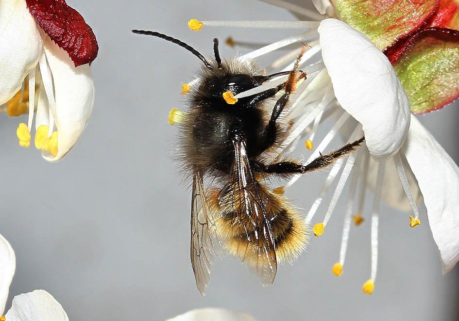 Osmia cornuta (male) - Gehörnte Mauerbiene  -  - Apidae - Megachilinae - Bienen - bees