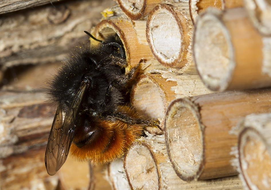 Osmia cornuta (female) - Gehörnte Mauerbiene - Nesthilfe - Apidae - Megachilinae - Bienen - bees
