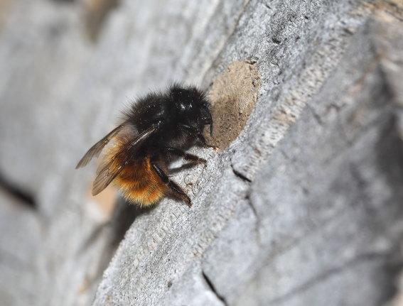 Osmia cornuta - Gehörnte Mauerbiene -  - Apiformes - Megachilidae - Bienen - bees