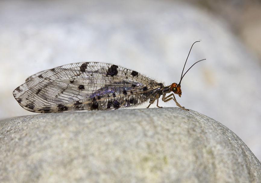 Osmylus fulvicephalus - Bachhaft - Zagori - Epirus - Neuroptera - Netzflügler - net-winged insects