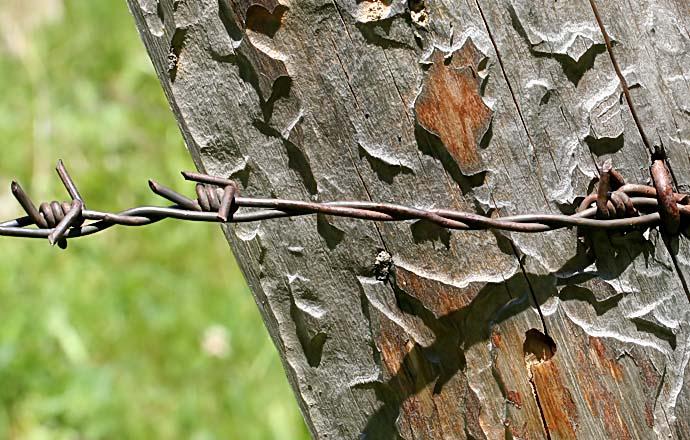 Zaunlatte mit Fraßspuren -  - Holz - Wood