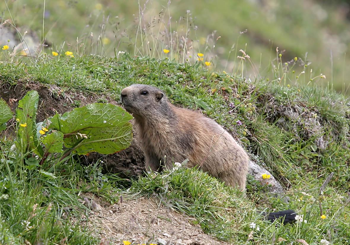 Marmota marmota - Murmeltier -  - Rodentia - Nagetiere - rodents