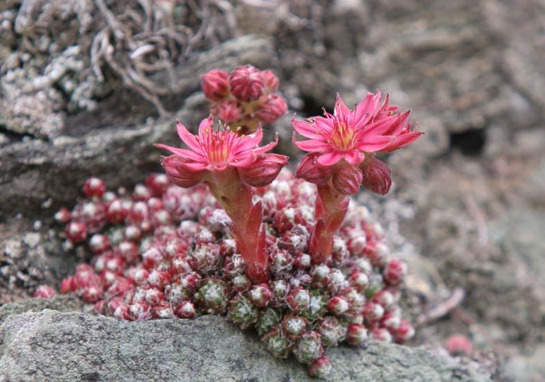 Sempervivum arachnoideum - Spinnweb-Hauswurz - Fam. Crassulaceae - Felsspalten - rock crevices