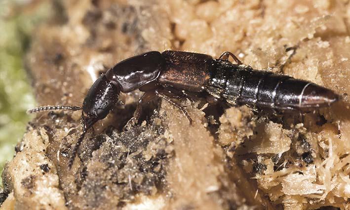Othius punctulatus -  - Staphylinidae - Kurzflügler - rove beetles