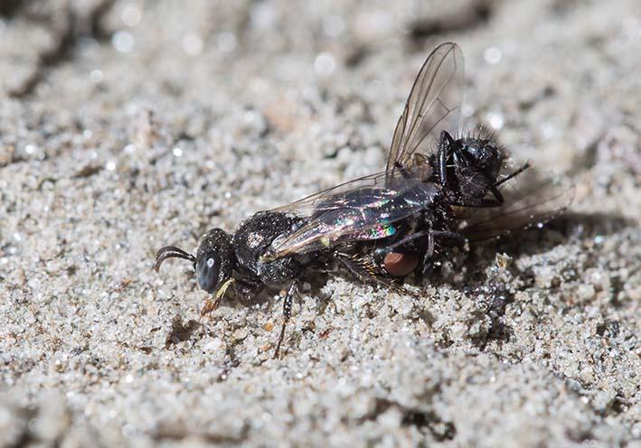 Oxybelus bipunctatus - Mit Fliegenbeute - Spheciformes - Grabwespen - thread-waisted wasps